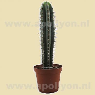 Cactus San Pedro Cutting