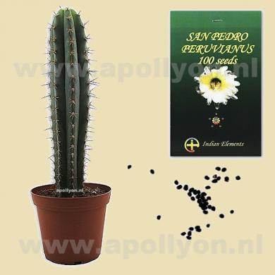 Cactus Seeds San Pedro  Peruvian Torch
