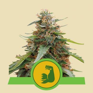 Hulkberry Autoflower