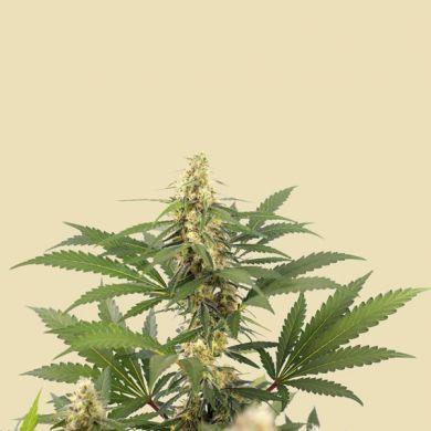 Tropicana Weddingcake (Autoflower)